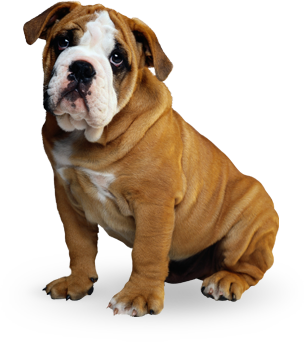 vetting english bulldog puppy